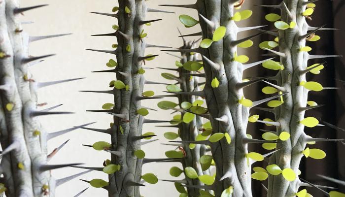 アローディア・プロセラ(亜竜木)の育て方