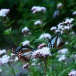 渡り蝶アサギマダラ