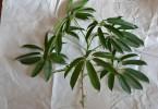 シェフレラ・アンガスティフォリアの挿し木