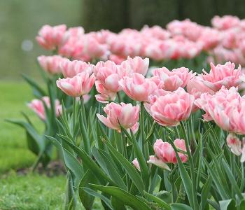 天使の八重咲き「チューリップ・アンジェリケ」