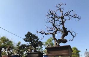 オザキフラワーパーク 盆栽