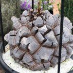 鶴仙園のシンボル、特大サイズの亀甲竜 (非売品)