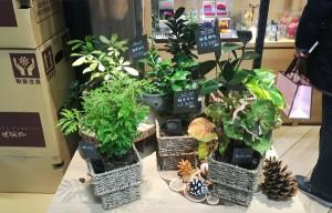 カバー付きの観葉植物 ポリシャス、シェフレラ、シンゴニュウムなど