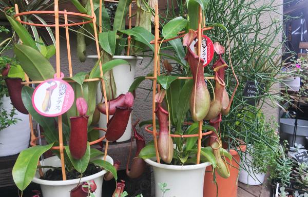 食虫植物 ネペンテス