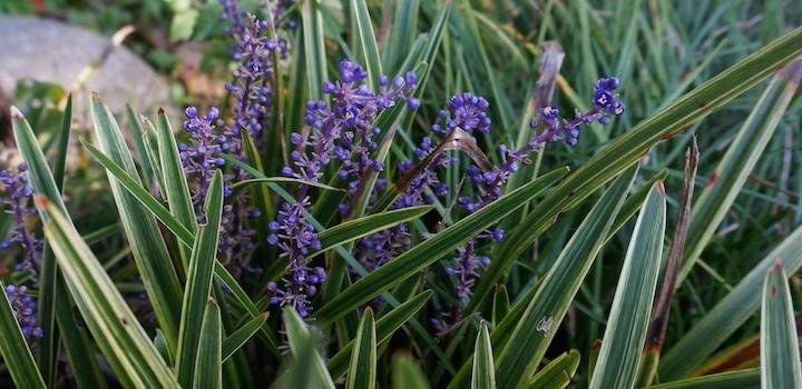 ヤブラン 紫色の花