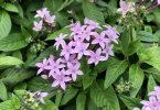 ペンタス 紫