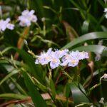 シャガの花 アヤメ科