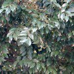 スダジイの葉 日比谷公園
