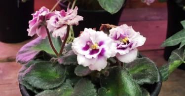 セントポーリアの育て方 園芸品種は1万以上?室内栽培に適した室内花の女王