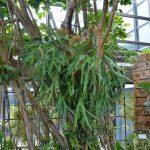 木に着生しているビカクシダ