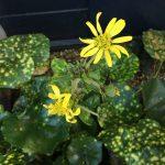 斑入りツワブキの花、蕾