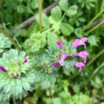 紫色の唇形花