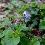 タチツボスミレの薄紫色の花