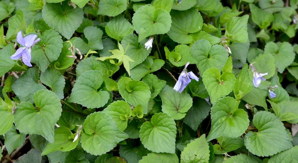 ハート型のタチツボスミレの葉