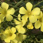 オオキバナカタバミの花