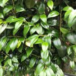 ツバキ(ヤブツバキ)の葉