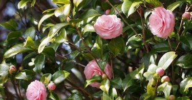 ツバキ(ヤブツバキ) - 日本原産の古くから親しまれてきた花木