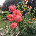 砧公園の薔薇