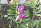 カラスノエンドウ(烏野豌豆)
