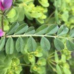 カラスノエンドウの葉