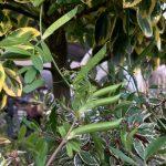 カラスノエンドウの豆果