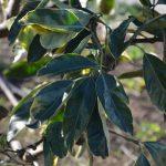 斑入りミカンの葉