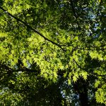 カエデ(モミジ) 日比谷公園