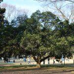 砧公園のヤマモモ