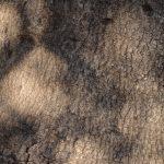 ヤマモモの樹皮 砧公園