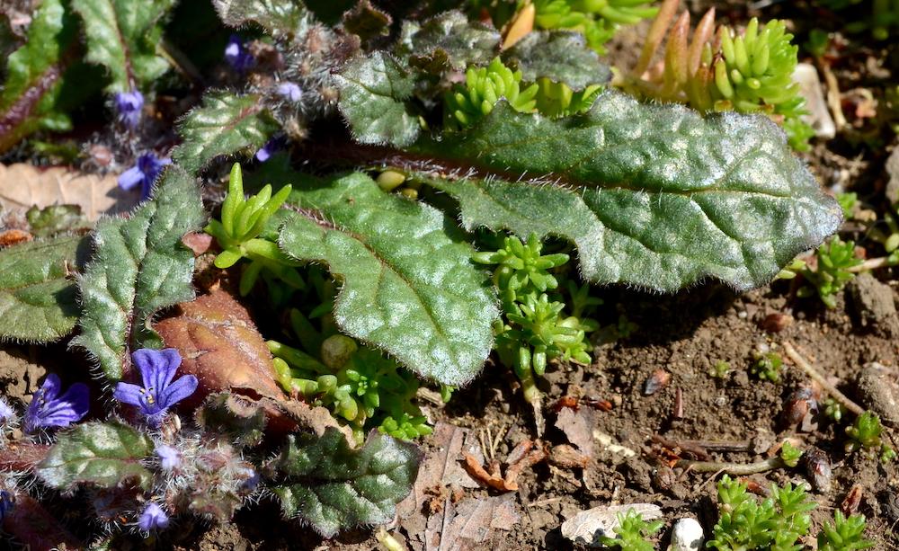 縮れた毛のあるキランソウの葉