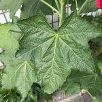 タチアオイ(立葵)の葉