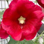 タチアオイ(立葵)の花