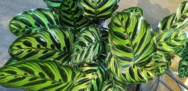 カラテアの育て方〜アートな葉模様が特徴の観葉植物