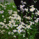 ハルジオン(春紫菀)の群生