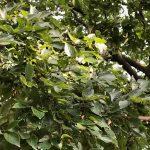 エノキの葉と実 幼虫や野鳥が好んで食べる