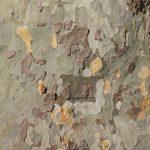 プラナタスの樹皮