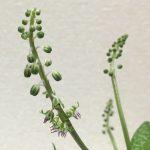 レデボウリア・ソシアリスの花