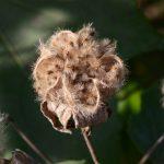 スイフヨウ(酔芙蓉)の種子