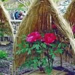 冬牡丹の展示 | 北九州市立白野江植物公園