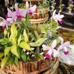 カトレア原種展 - 姫路市立手柄山温室植物園