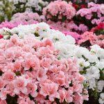 企画展示「にいがたの花 アザレア」