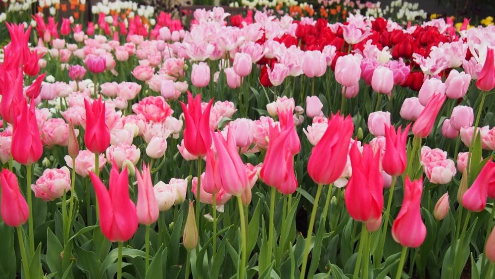 企画展示「にいがたの花 チューリップ」