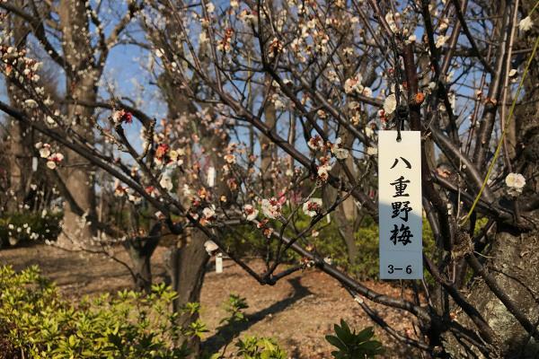 羽根木公園の八重野梅