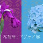 花菖蒲とアジサイ展