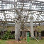 アフリカバオバブ(宝の木) 熱帯ドリームセンター