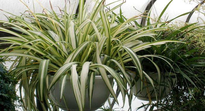 オリヅルラン - 空気清浄効果のある植物