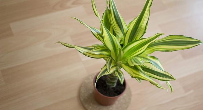 ドラセナ・フラグランス - 空気清浄効果のある植物