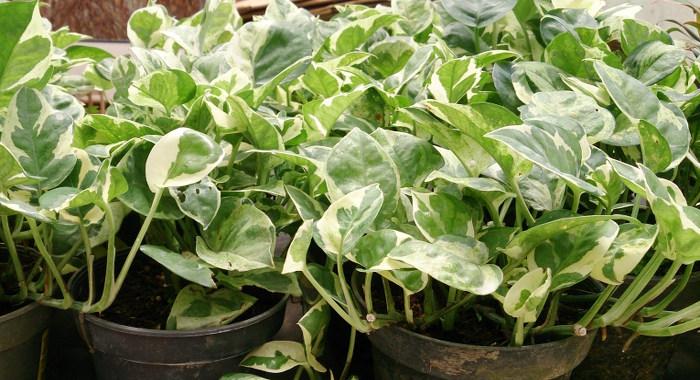 ポトス - 空気清浄効果のある植物