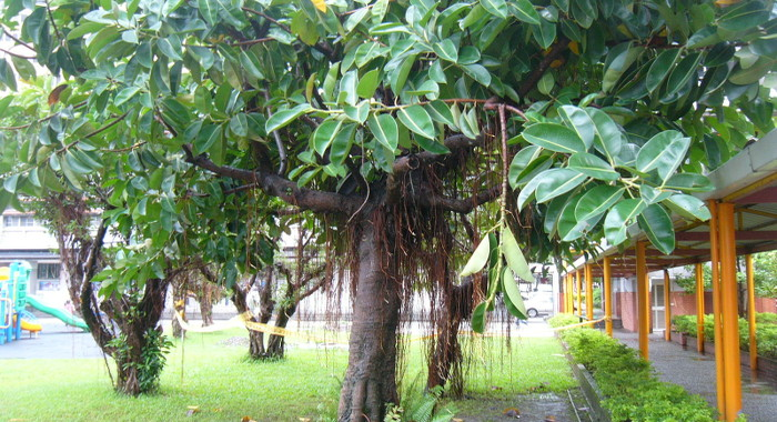 インドゴムの木 - 空気清浄効果のある植物