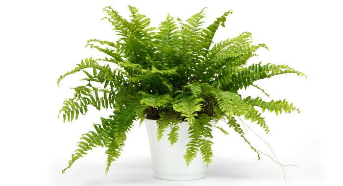 セイヨウタマシダ - 空気清浄効果のある植物